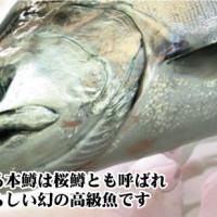 知る人ぞ知る! 幻の高級魚、【 本鱒サクラマス 】